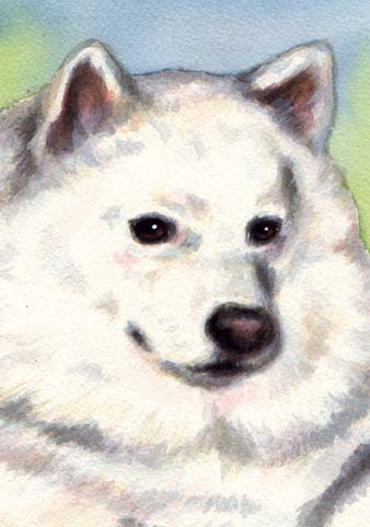 Samoyed Dog Watercolor Portrait Carol Wells