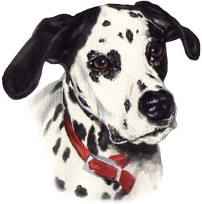 Dalmatian Dog Watercolor Pet Portrait Carol Wells